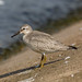 Red knot,