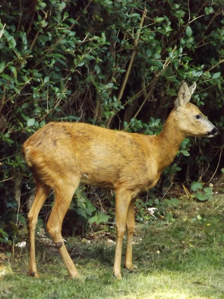 Roe Deer in East Horsley Churchyard, Surrey, 16 September 2021