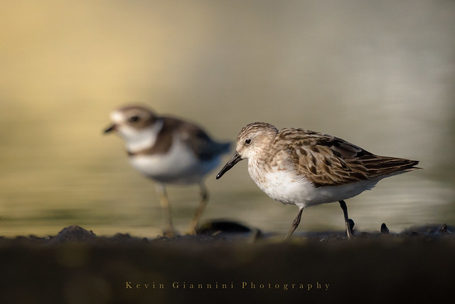 Semipalmated Plover and a SP Sandpiper