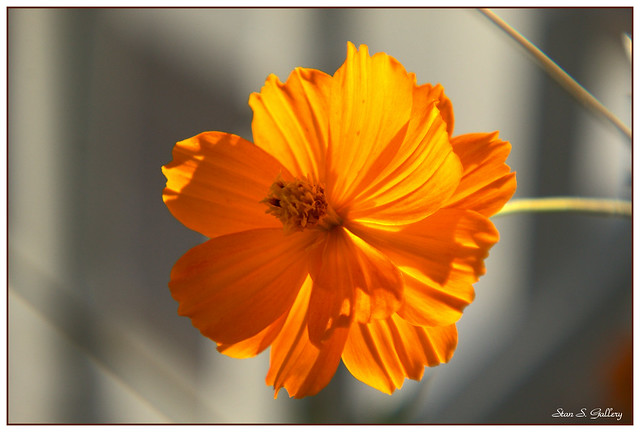 September - Yellow Cosmos in the afternoon sunlight