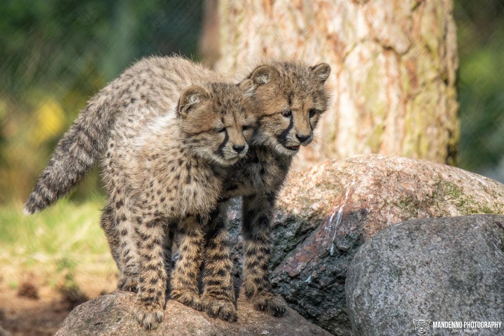 Cheetah Cubs - Safaripark Beekse Bergen