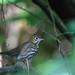 Ovenbird In The Shadows