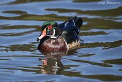 Wood Duck - 45