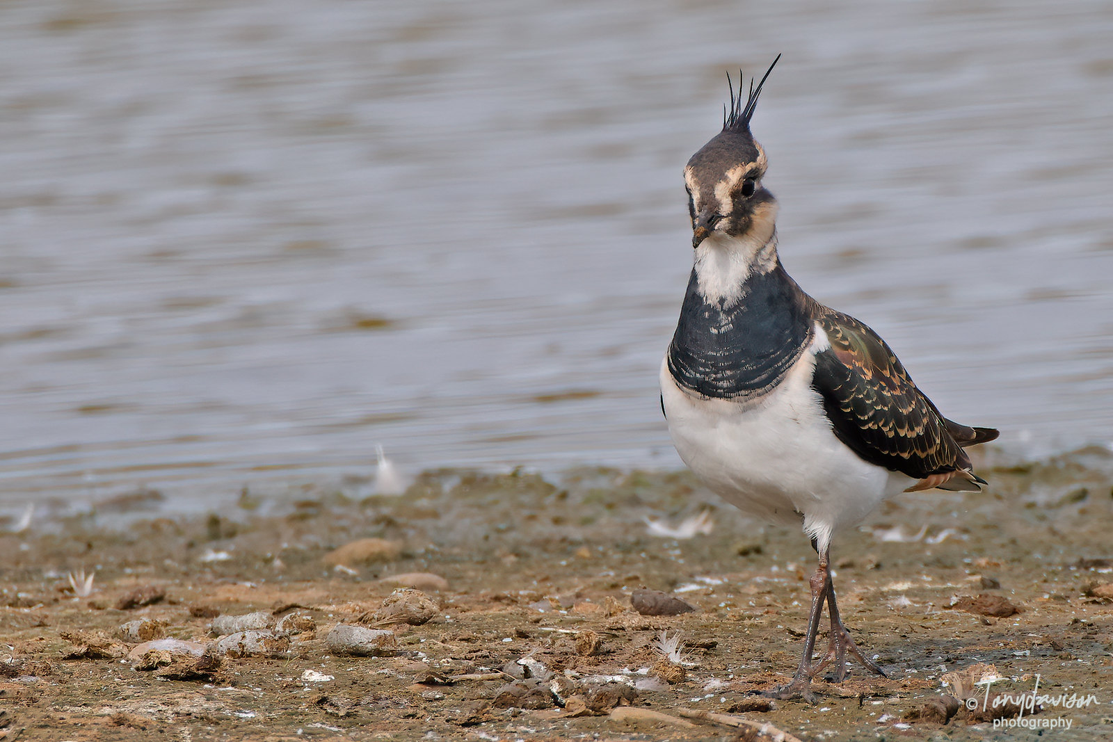 Lapwing _43A0075