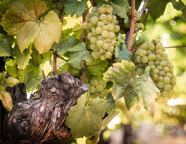 Sangiacomo_White_Grapes-4018210917