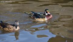 Wood Ducks - 9