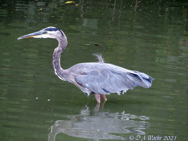 Heron With a Cowlick