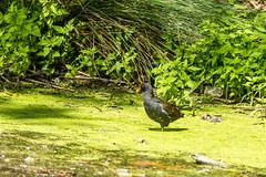 20200620_creteil_Gallinule poule-d'eau