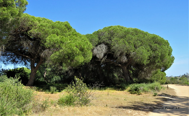 Stone Pine (Pinus pinea)(Pinheiro Manso)