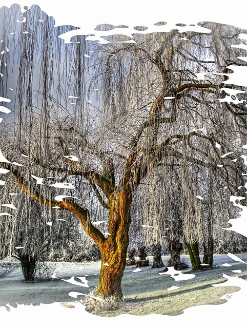 A Winter Willow