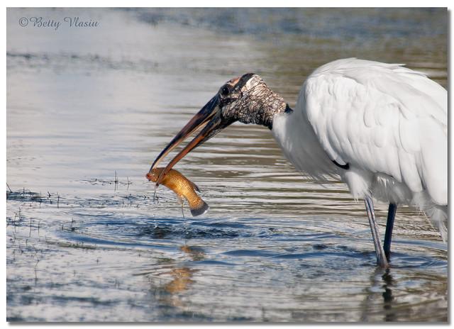 Wood Stork Fishing