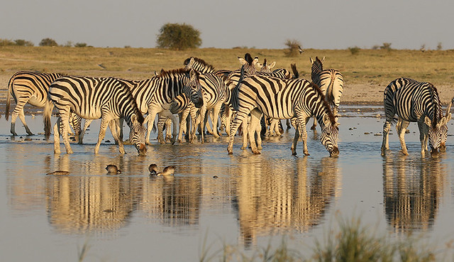 Zebras at Makgadikgadi - Botswana
