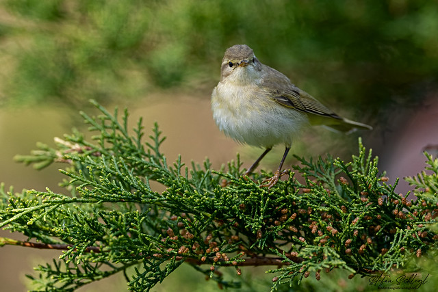 Fitis / Willow Warbler / Phylloscopus trochilus
