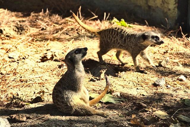 Meerkats / Suricati