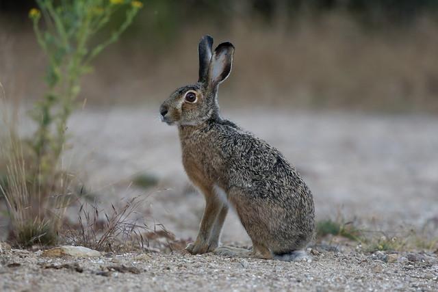 Lièvre de Castroviejo - Broom Hare