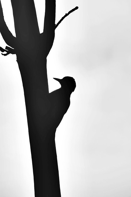 Specht - Woodpecker