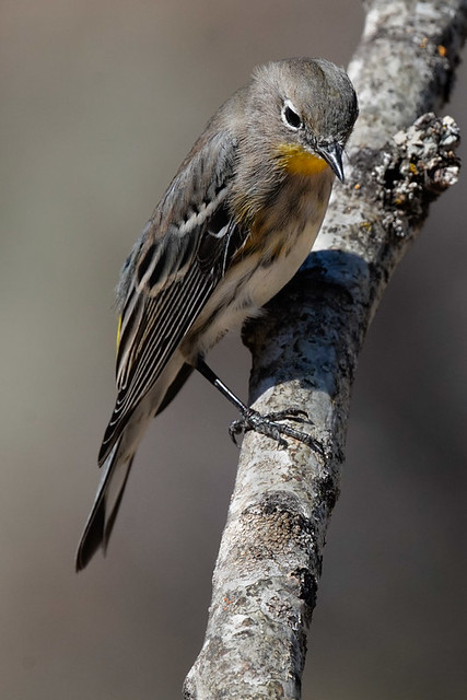 Fall Plumage-Yellow-Rumped Warbler