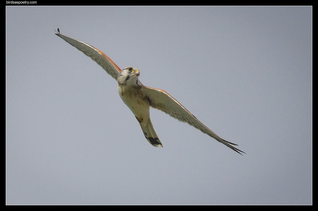 Nankeen Kestrel: Elegance on the Wing
