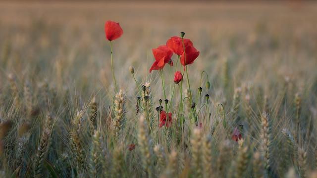 Poppies , explore 23-9-21