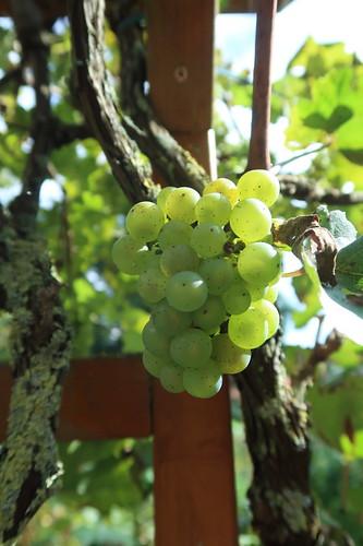 Helle Weintrauben (direkt von der Rebe)