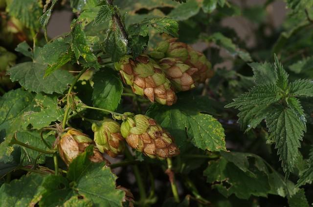 Wild Autumn hops, Brenely Farm, Kent