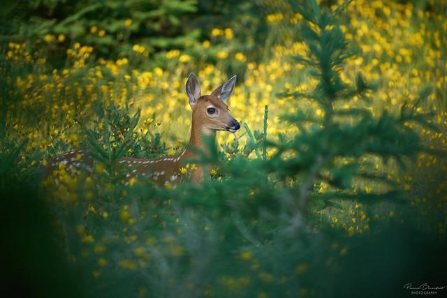 White-Tailed deer - Cerf de virginie