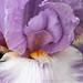Lavender, White, & Gold Iris, 5.3.18