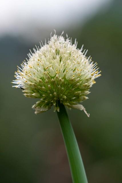 La flor que saca lagrimas