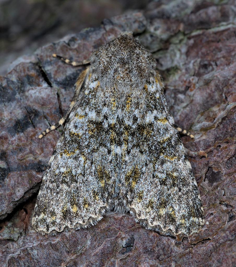 2252_Polymixis flavicincta_Large Ranunculus_childswickham180921