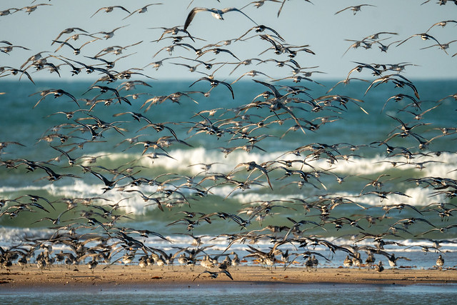 Bar-tailed Godwit and Black-tailed Godwit. Lee Point Beach, Darwin NT AUS