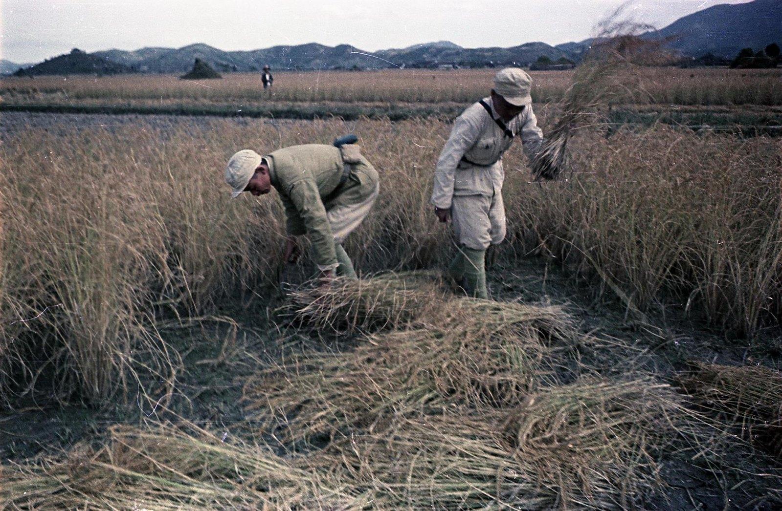 1949. Юго-Восточный фронт. Бойцы Народно-освободительной армии Китая помогают населению. Уборка риса