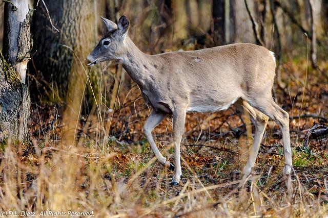 White-Tailed Deer #3 - 2020-04-18