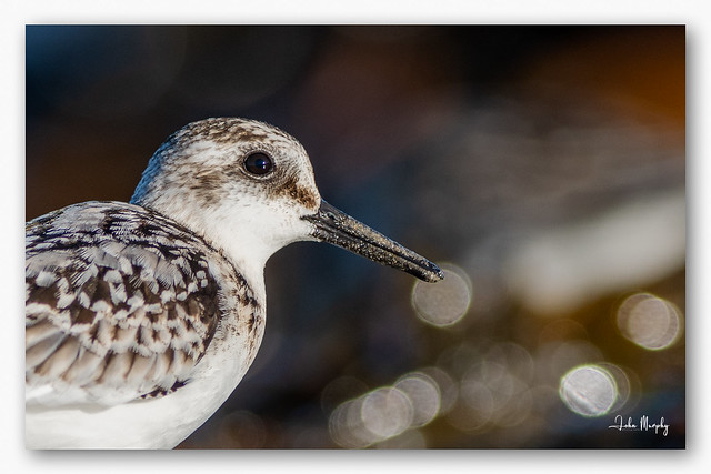 Irish Name:LuathránScientific name:Calidris albaBird Family:SandpipersStatusWinter visitor. Most birds wintering in Ireland are of Siberian origin, while birds on passage are Nearctic, and pass through on their way towards more southerly wintering areas a
