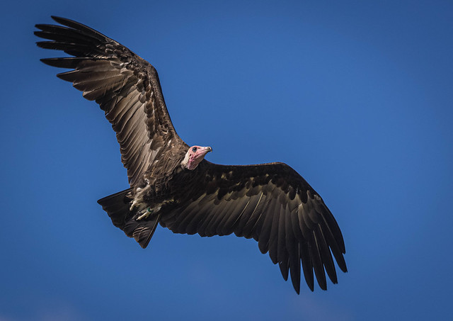 Vulture in Flight-4708.jpg