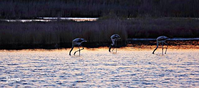 Fenicotteri all'alba - Flamingos at dawn