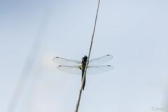 20200620_creteil_insecte, odonate
