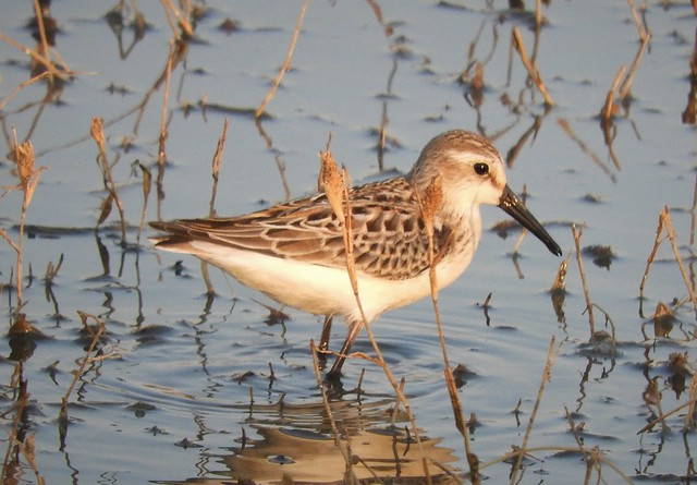 Western  Sandpiper in the Central Valley