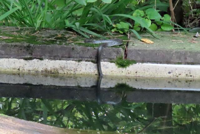 21607.Ringelnatter am Teich