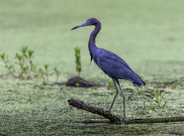 Little Blue Heron at Northpoint State Park in Baltimore County, Maryland.
