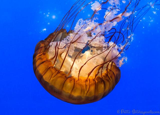 Sea Nettle Jellyfish - Orange Down