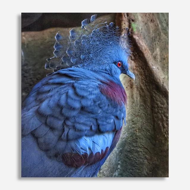 Victoria Crowned Pigeon - Nikon P1000