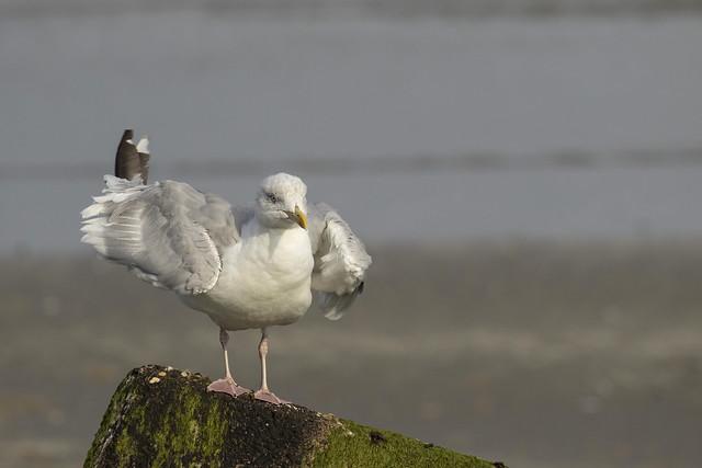 Zilvermeeuw - Noordzee - Hoek van Holland
