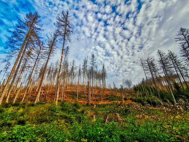 Harz - Waldsterben