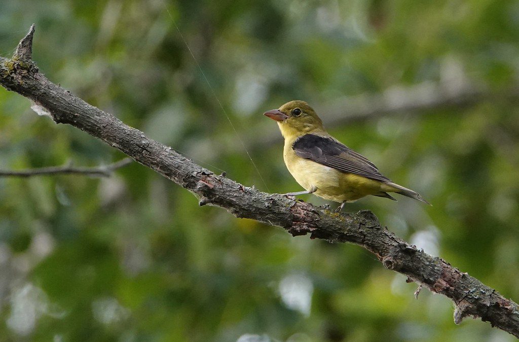 Scarlet Tanager, Tommy Thompson Park, Toronto