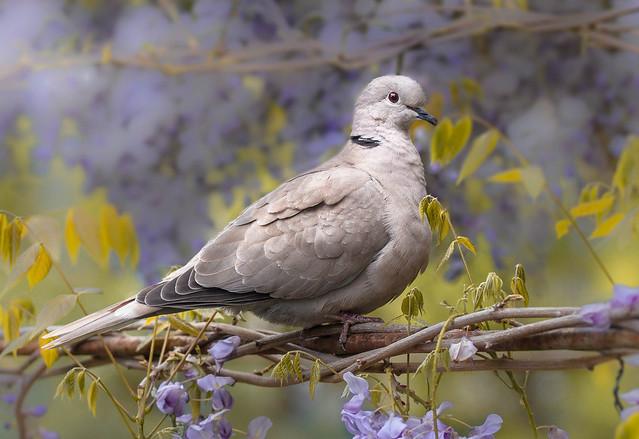 Dove in Wisteria