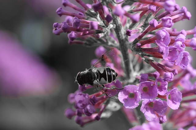 To bee purple or not to bee