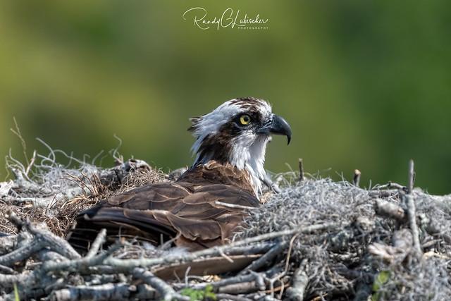 Osprey | Pandion haliaetus | 2021 - 29