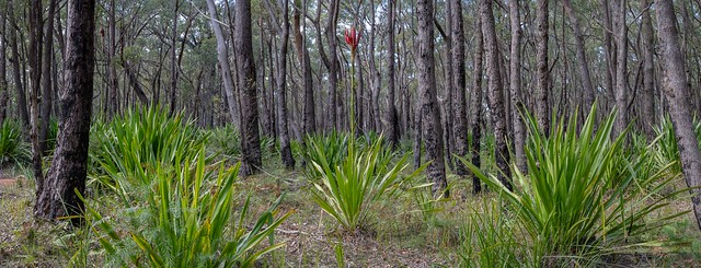 Gymea lily starting to flower