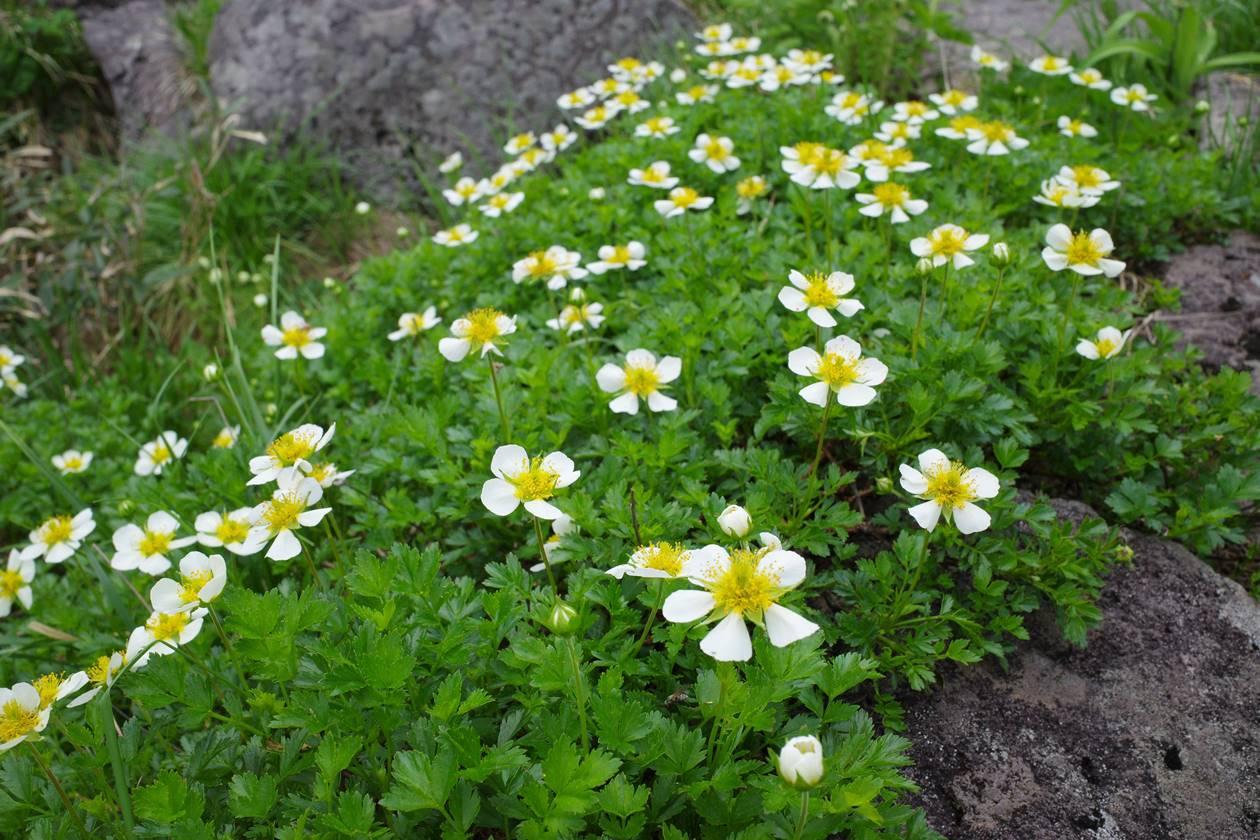 鳥海山 チングルマのお花畑