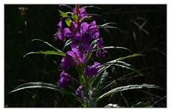 Purple_4207